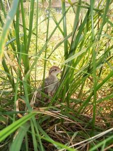Bobwhite Chick in Grass