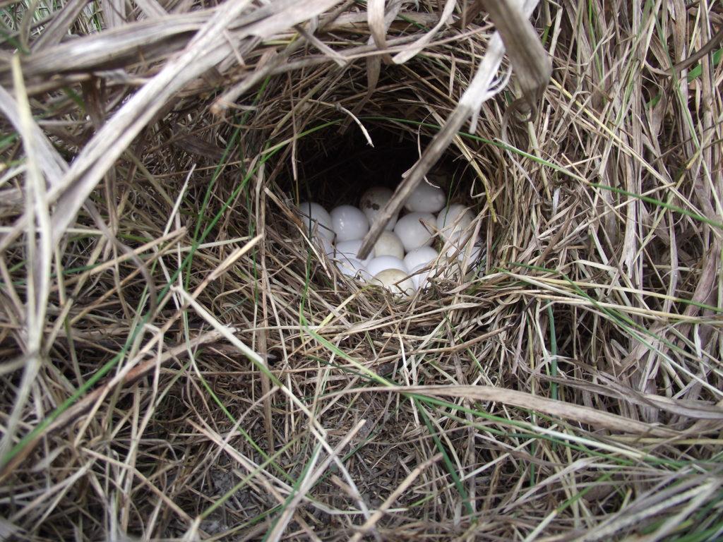 Bobwhite nest