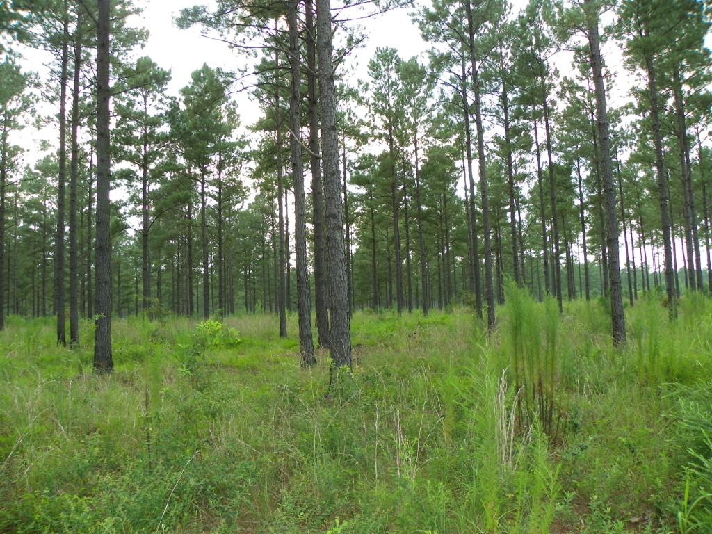 Pine Savanna in Georgia