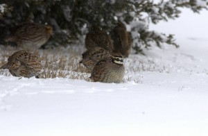 Bobwhites in snow