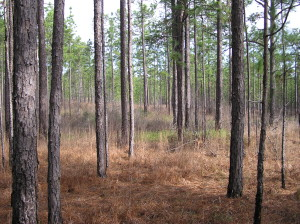 Longleaf pine in Alabama