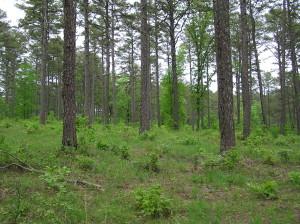 Shortleaf pine in Arkansas