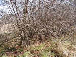 Wild plum provides the right kind of cover for bobwhites