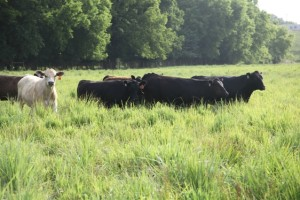 Cattle_Resized