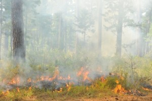 Prescribed fire in a pine savanna. (Photo: John Doty)