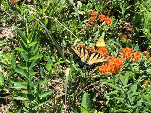 Eastern Tiger Swallow Tail and Sulphur butterflies on butterfly weed in quail planting area