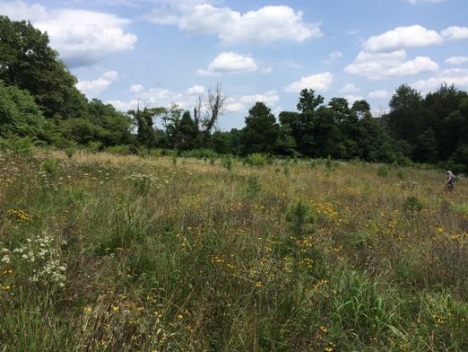 Pasture / hay field converted to short-leaf pine and pollinator cover
