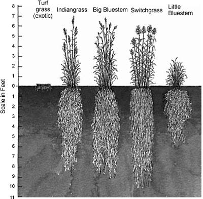Relative Root Depths of Various Grasses