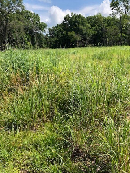 Native grass green-up following a prescribed burn. Photo provided by AGFC.