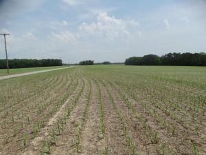 Corn, No-Till in Soybean Residue Field<br>Sussex County, VA<br>Photo by Bob Glennon