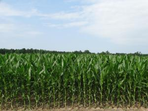 Corn<br>Sussex County, VA<br>Photo by Bob Glennon