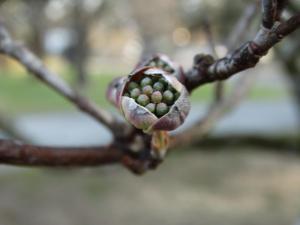 Dogwood, Flower Buds<br>Southampton County, VA<br>Photo by Bob Glennon