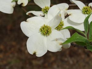 Doqwood Flower<br>Isle of Wight County, VA<br>Photo by Bob Glennon