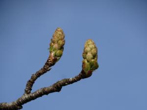 Sweetgum Flower Buds<br>Dare County, NC<br>Photo by Bob Glennon