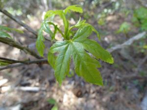 Sweetgum Leaf<br>Dare County, NC<br>Photo by Bob Glennon
