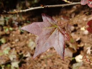 Sweetgum Leaf, Purple<br>Gates County, NC<br>Photo by Bob Glennon
