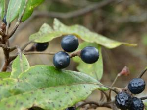 Red Bay , Ripe Berries from Previous Year<br>Gates County, NC<br>Photo by Bob Glennon