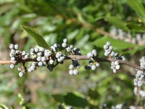 Wax Myrtle, Mature Seed<br>Dare County, NC<br>Photo by Bob Glennon