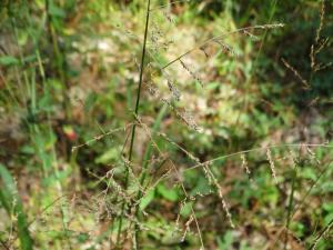 Beaked Panicgrass, Seed Head Closeup<br>Sussex County, VA<br>Photo by Bob Glennon
