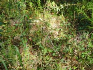Beaked Panicgrass, Seed Head<br>Sussex County, VA<br>Photo by Bob Glennon