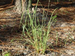 Broomsedge Bluestem<br>Sussex County, VA<br>Photo by Bob Glennon