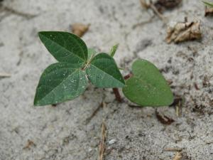 Trailing Wild Bean, Seedling<br>Dare County, NC<br>Photo by Bob Glennon
